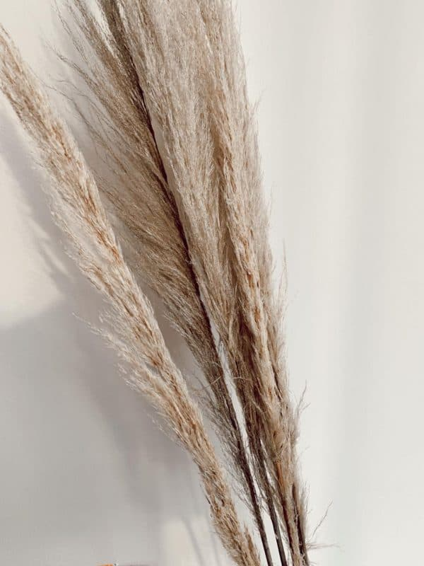 Pampas Grass Delgadas